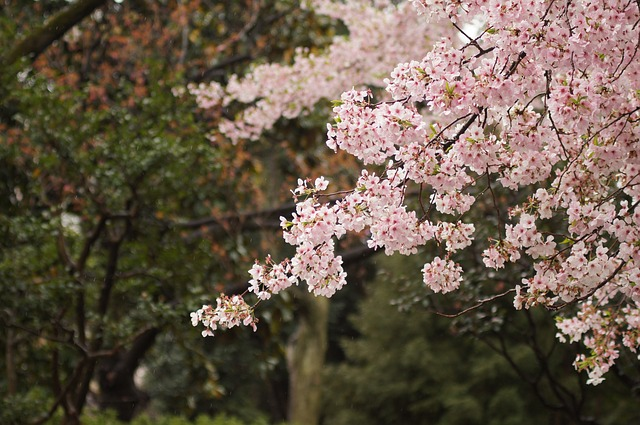 cherry-blossoms-1149175_640