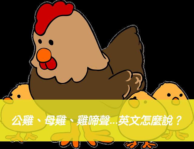 公雞、母雞、雞叫聲、雞啼聲...英文怎麼說?